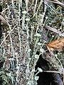 Cladonia fimbriata 89440224.jpg