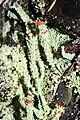 Cladonia macilenta 9496.JPG