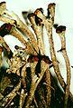 Cladonia rei-6.jpg