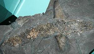 Cladoselache - C. fyleri fossil