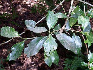 <i>Claoxylon australe</i> Species of tree
