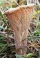 Clavariadelphus truncatus 2 crop.jpg