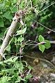 Clematis japonica s6.jpg