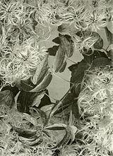 Clematis virginiana WFNY-f016.jpg
