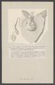 Clio borealis - - Print - Iconographia Zoologica - Special Collections University of Amsterdam - UBAINV0274 005 08 0006.tif