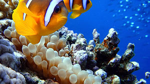 Hurghada - Anemone and clownfish at Sharm El Naga beach
