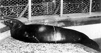 Caribbean monk seal - Specimen in the New York Aquarium, ca. 1910