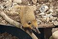 Coati at Marwell Wildlife.jpg