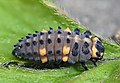 Coccinella septempunctata - 50143802898.jpg