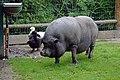 Cochon vietnamien (Zoo Amiens).JPG