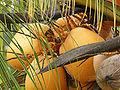 Cocos nucifera (fruits).jpg