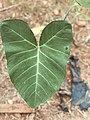 Cocoyam leaves.jpg