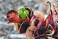 Codiaeum variegatum Bahli Hi 2zz.jpg
