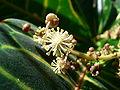 Codiaeum variegatum flower macro.jpg