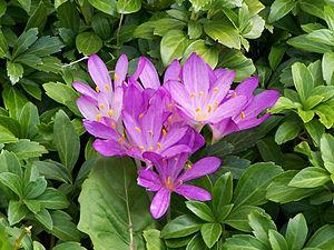 Colchicum autumnale - Image: Colchicum autumnale 01
