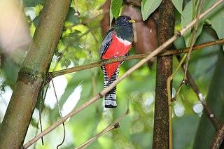 Collared trogon species of bird