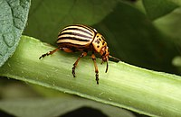 Colorado potato beetle.jpg