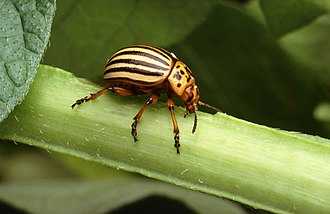 Colorado potato beetle - Image: Colorado potato beetle
