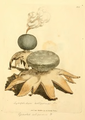 Coloured Figures of English Fungi or Mushrooms - t. 313.png