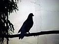 Columbidae by iran کبوتران در ایران 02.jpg
