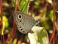 Common Four Ring Ypthima huebneri by Dr. Raju Kasambe DSCN4640 (7).jpg