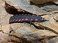 Common Glow-worm (Lampyris noctiluca) larva (14498163285).jpg