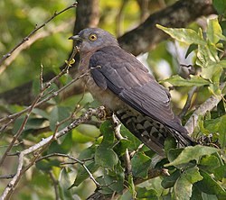 Common Hawk Cuckoo (Hierococcyx varius) on ground at Narendrapur W IMG 4098.jpg