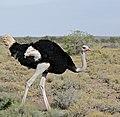 Common Ostrich (Struthio camelus) male (32404508890).jpg