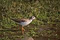 Common Redshank (Tringa totanus) (20623889429).jpg