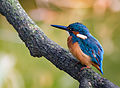 Common kingfisher, October 2015, Osaka V.jpg