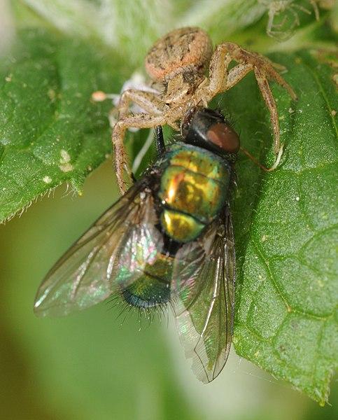 File:ComputerHotline - Thomisidae sp. (by).jpg