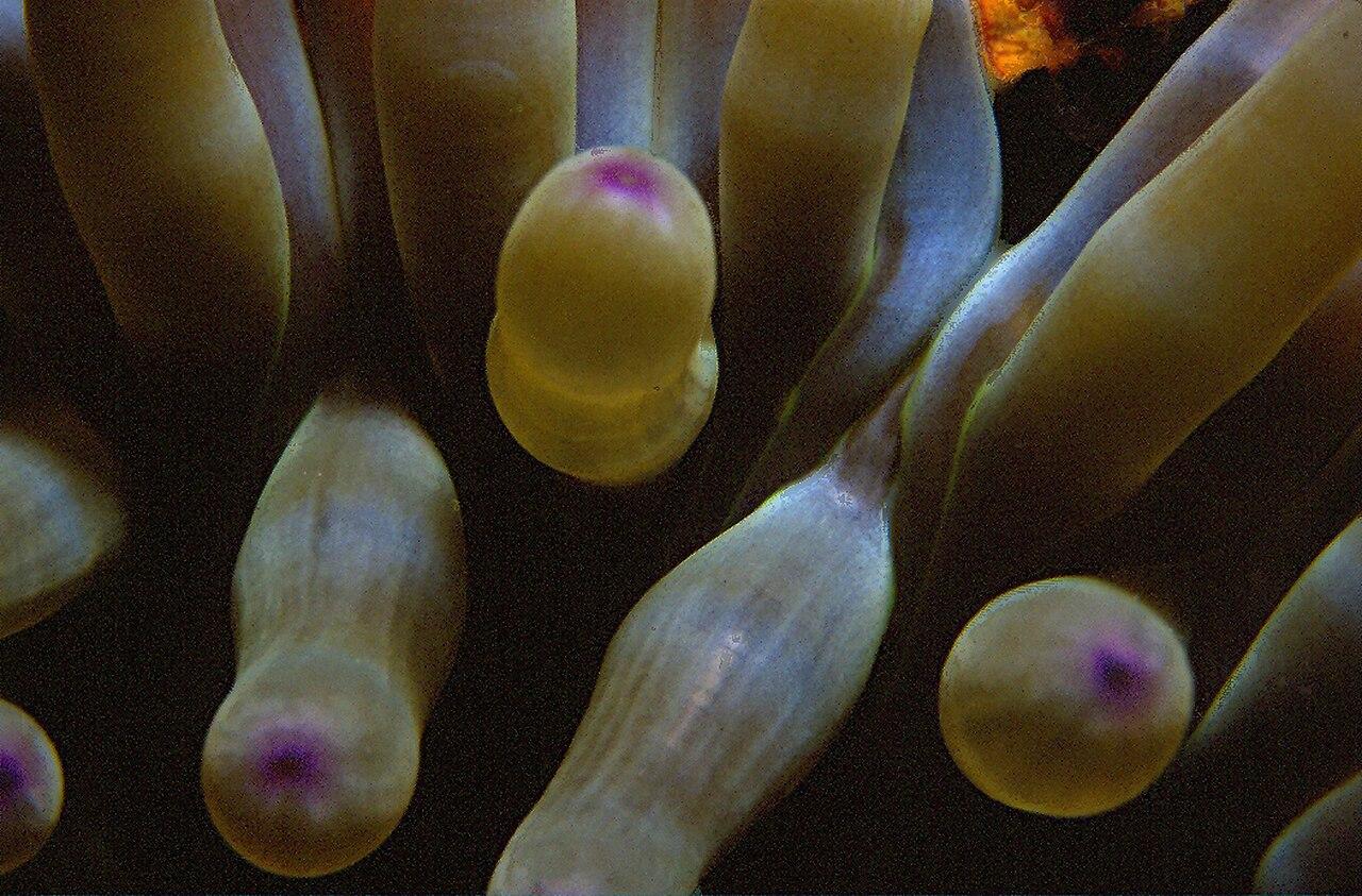 File condylactis aurantiaca della chiaje 1825 jpg for 1825 2
