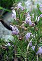 Conradina verticillata wild.jpg