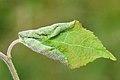 Contarinia populeti on Populus cfr nigra (31544121680).jpg