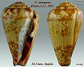 Conus variegatus 1.jpg