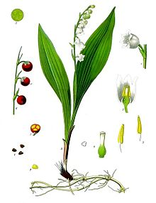 Lily Of The Valley Wikipedia