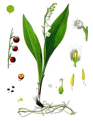 Lily of the valley - 19th-century illustration