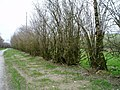 Coppiced hedge - geograph.org.uk - 161282.jpg