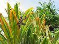 Cordyline fruticosa (7374352510).jpg