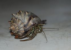 Core Banks - Hermit Crab - 1.JPG