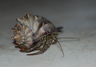 <i>Pagurus pollicaris</i> species of crustacean