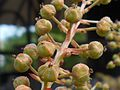 Coriaria nepalensis 2017-05-23 1108.jpg