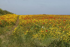 English: Corn marigolds & poppies Efforts have...