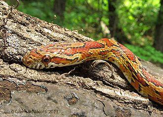 Corn snake - A close up portrait