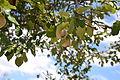 Cornillac - Coins sur arbre.JPG
