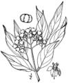Cornus foemina BrittonBrown.png