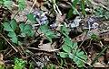 Corydalis pumila 3.jpg