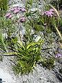 Corymbium glabrum Vynbos 1.jpg