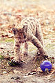 Cougar Kitten Playing With a Ball (18156518476).jpg