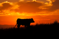 Cow at Sunset on Inishowen.png